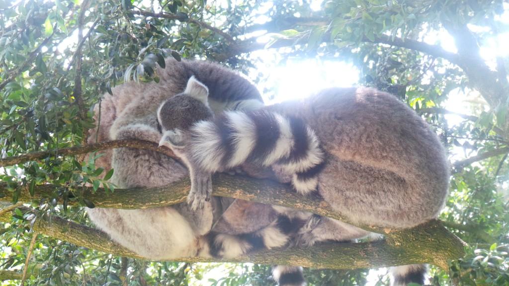 famille_lemurien_parc_des_felins