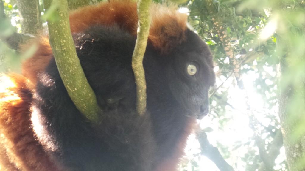 lemurien_marron_parc_des_felins
