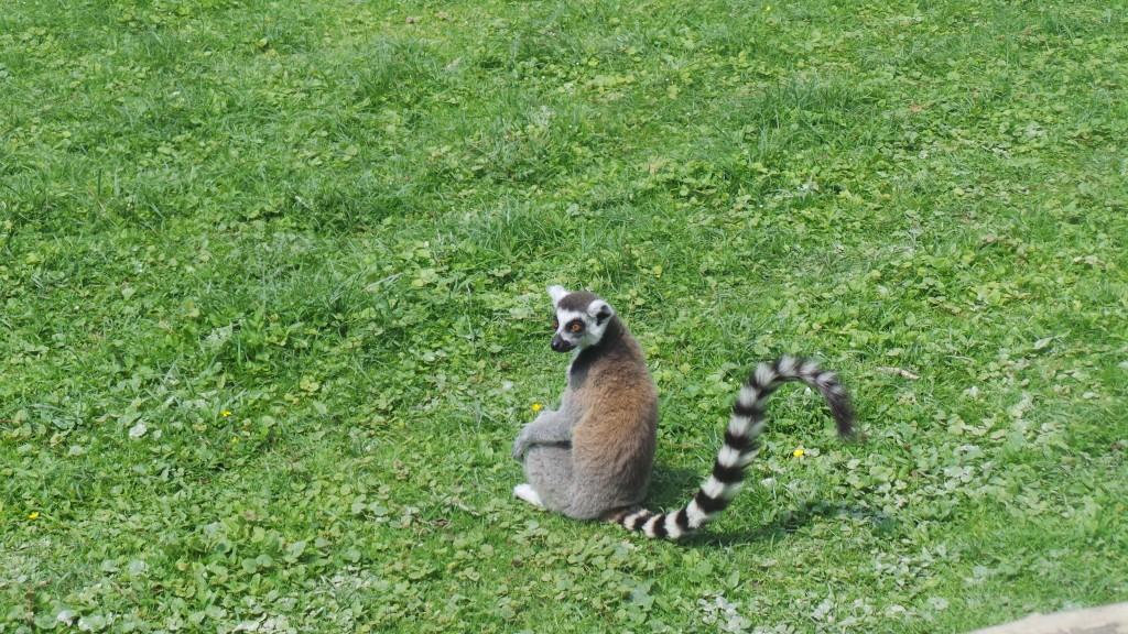lemurien_parc_des_felins
