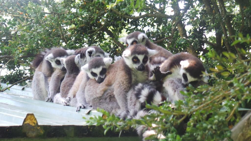 lemuriens_curieux