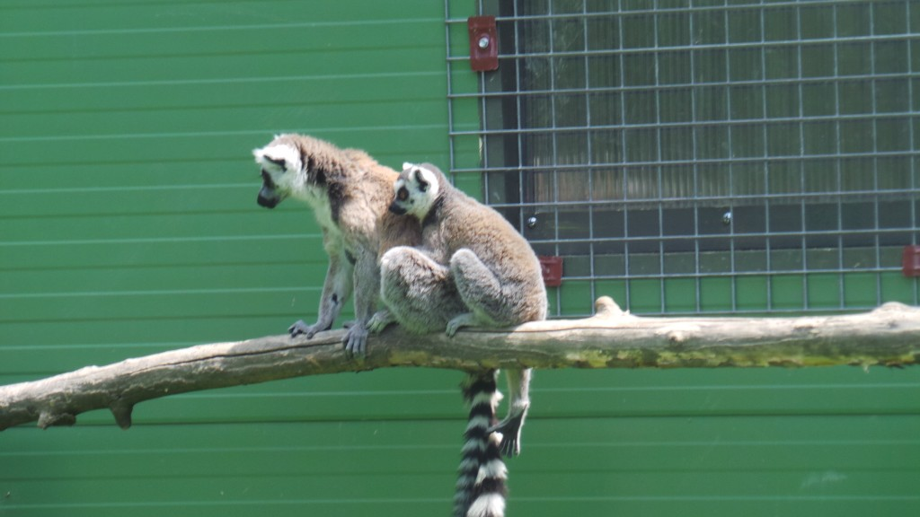 lemuriens_parc_des_felins